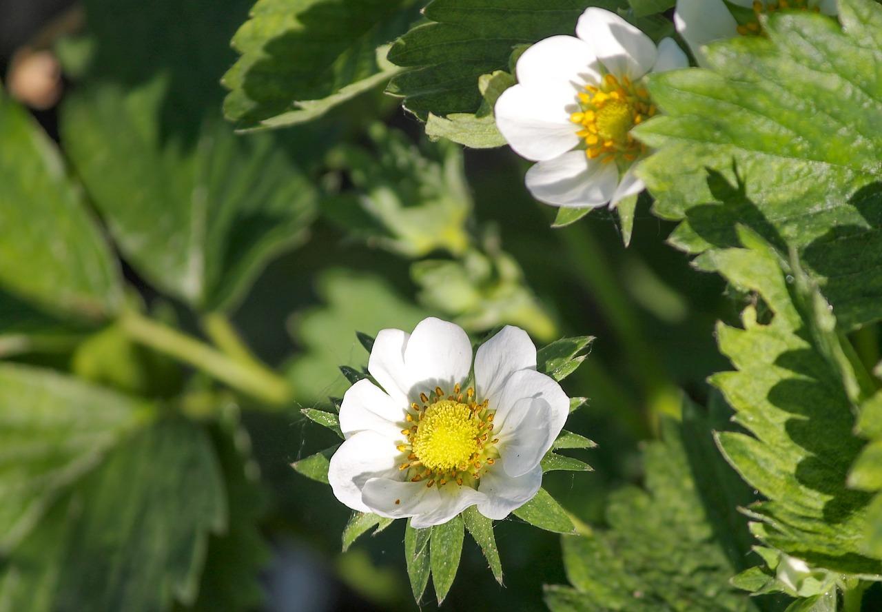 Květy jahodníku